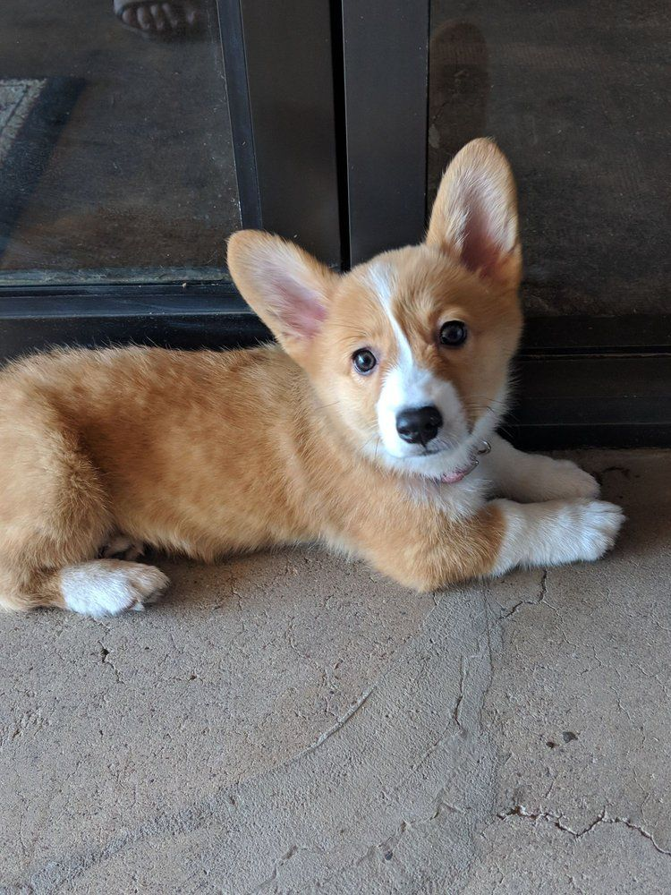Available Puppies For Sale Puppies, Pet puppy, Pets