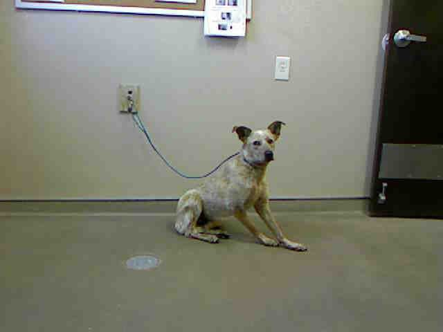 *MERLOT-ID#A710788    Shelter staff named me MERLOT.    I am a neutered male, red merle Australian Shepherd mix.    The shelter staff think I am about 11 months old.    I have been at the shelter since May 02, 2013.