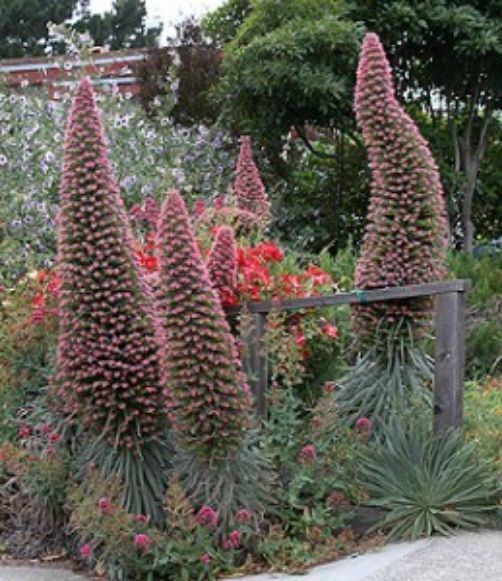 Tower Perennial Gardens: Echium Pink Fountain Is A Plant Which Will Definitely Make