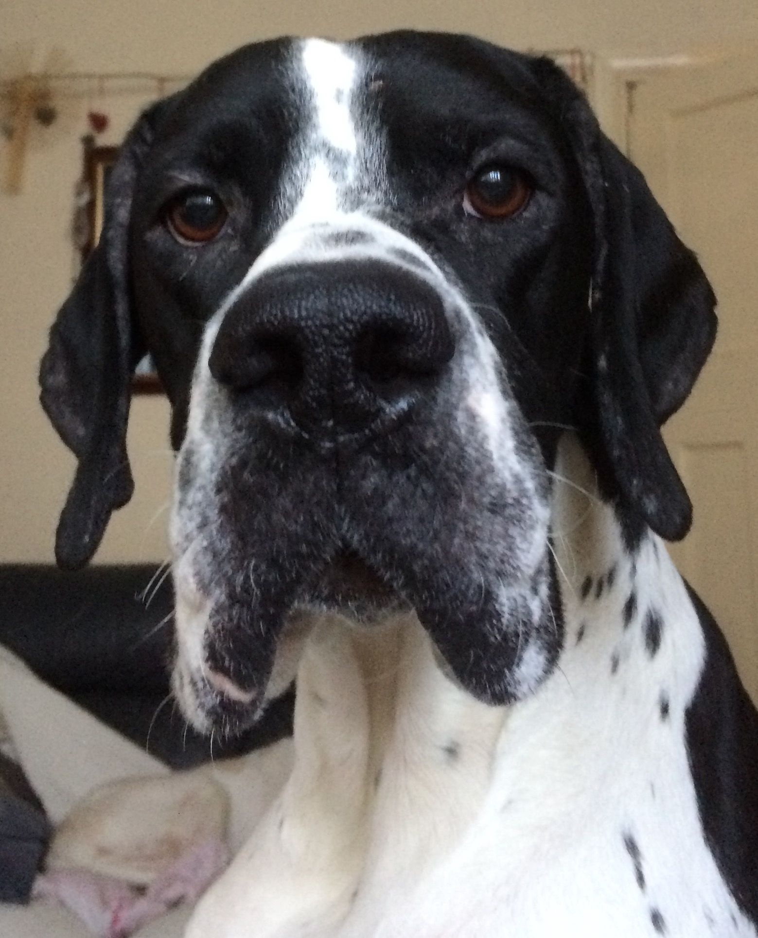 Handsome Dogs And Puppies Pointer Dog English Pointer Great