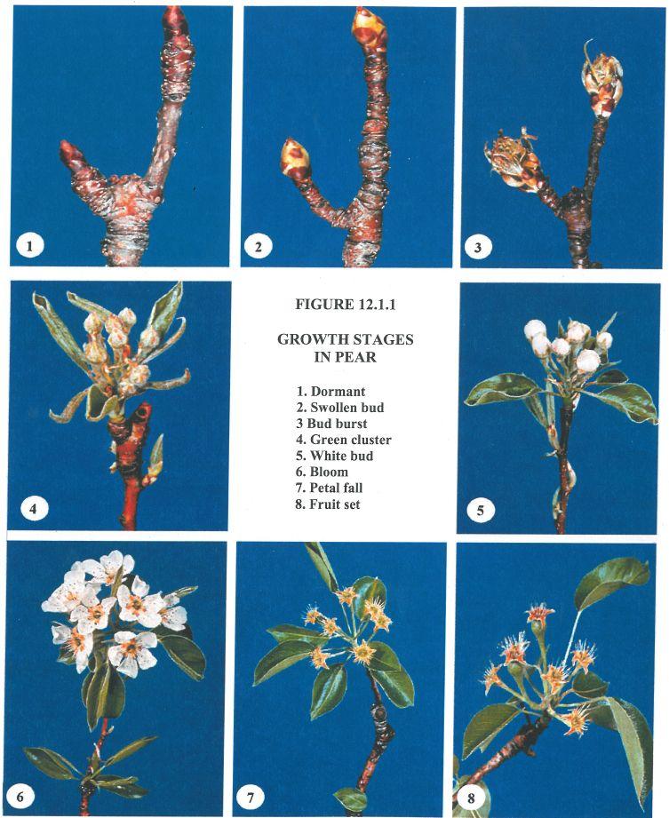 Phases Of Pear Development Ornamental Pear Tree Fruit Trees Tree Care