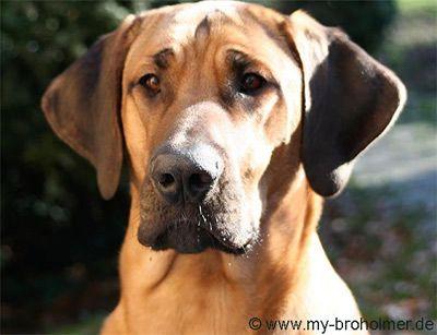 Broholmer Dog Broholmer Hund Welpen Hunderassen