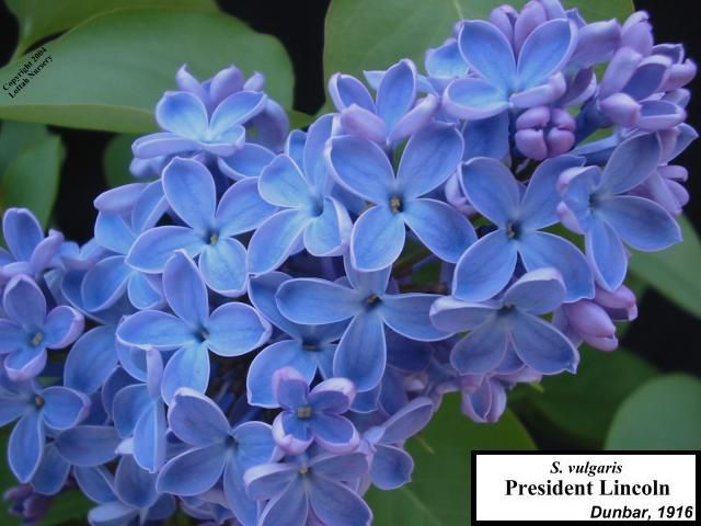 President Lincoln Blue Lilac Lilac Heirlooms Flowers Lilac Flowers