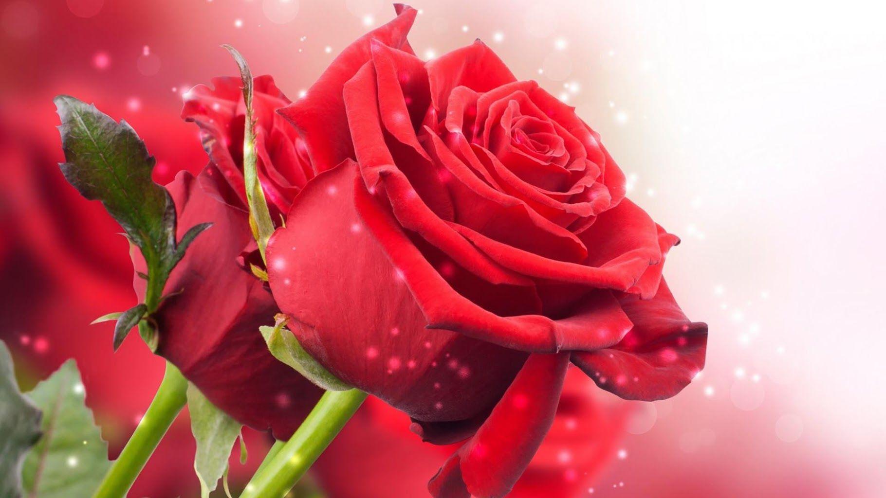 Pics For Gt Mawar Merah Wallpaper Mawar Mawar Merah Bunga