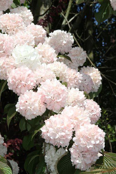 Viburnum Plicatum Kern S Pink Fragrant Viburnum