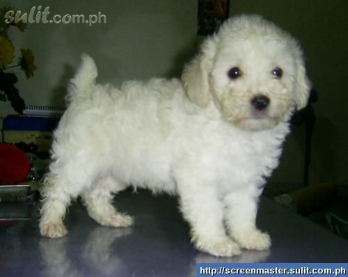 1 Choice A White Whoodle Wheaten Terrier And Small Poodle Mix