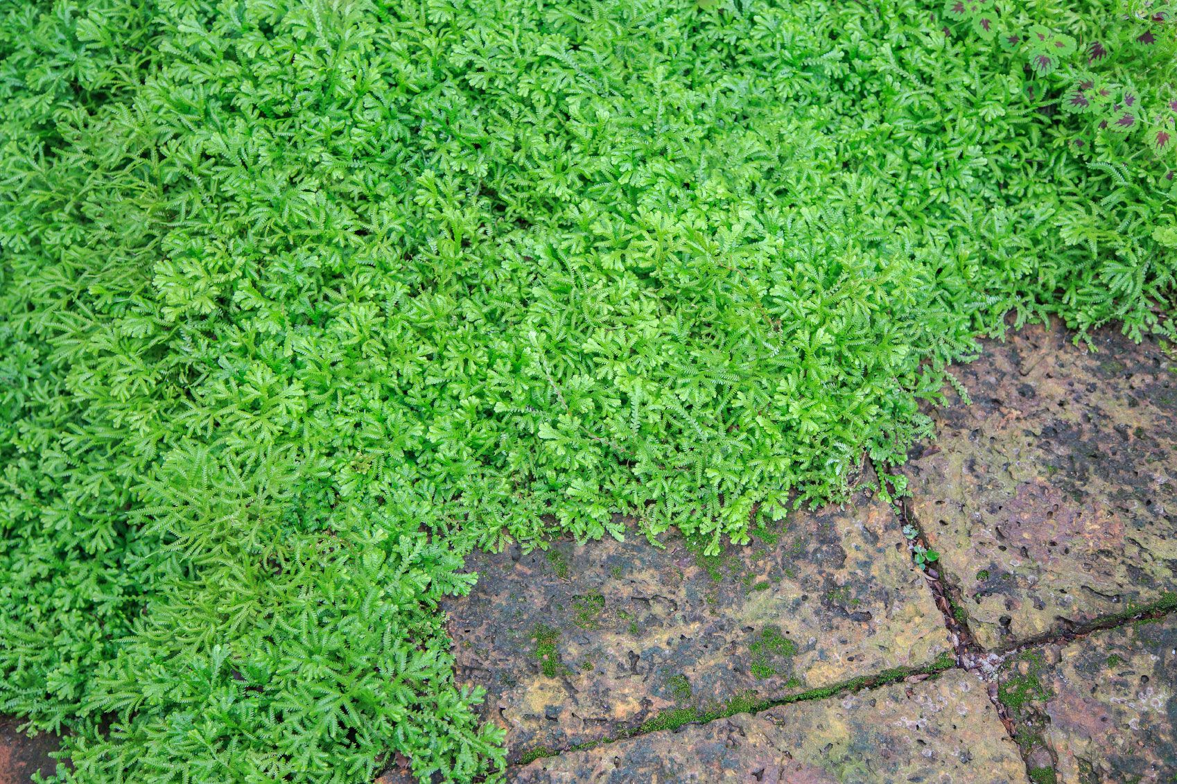 Spike moss plants, or club moss, are not true mosses but very basic vascular plants. Can you grow spike moss? You certainly can, and it makes an excellent ground cover but needs consistent moisture to remain green. Learn more in this article.