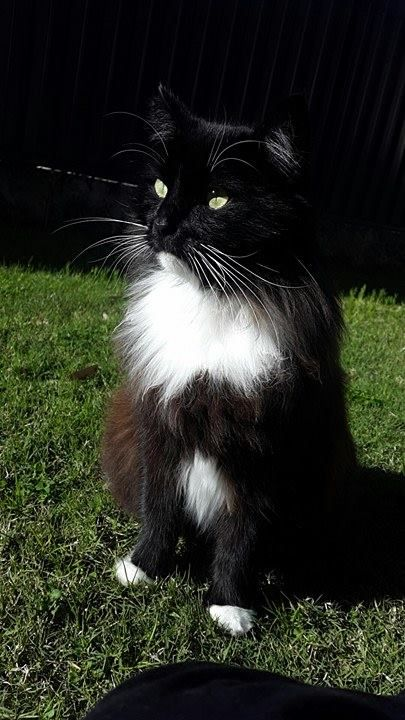 Our Norwegian Forest Cat Http Ift Tt 2b9e2yn And Like Omg Get