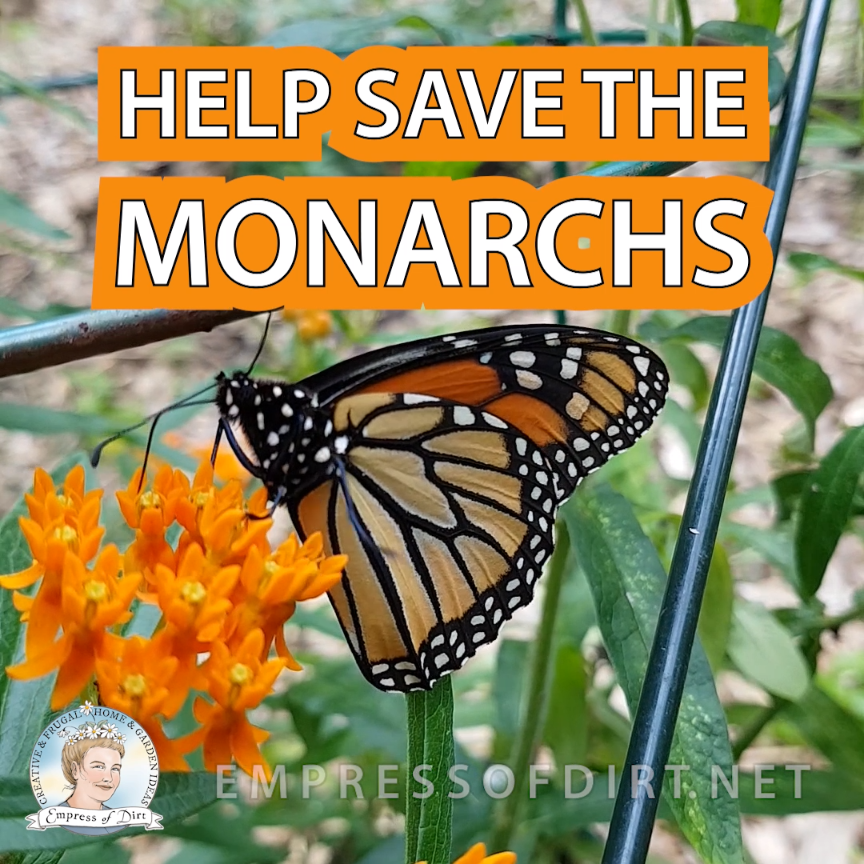 Monarch butterflies can only raise their young on milkweed plants. See what you can do to help these pollinators in your garden. #gardening #monarchs #milkweed #empressofdirt