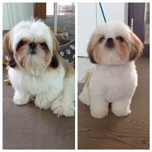 Shih Tzu Haircuts Before And After Goldenacresdogs Com Shihtzu Shih Tzu Haircuts Shih Tzu Grooming Dog Grooming Styles
