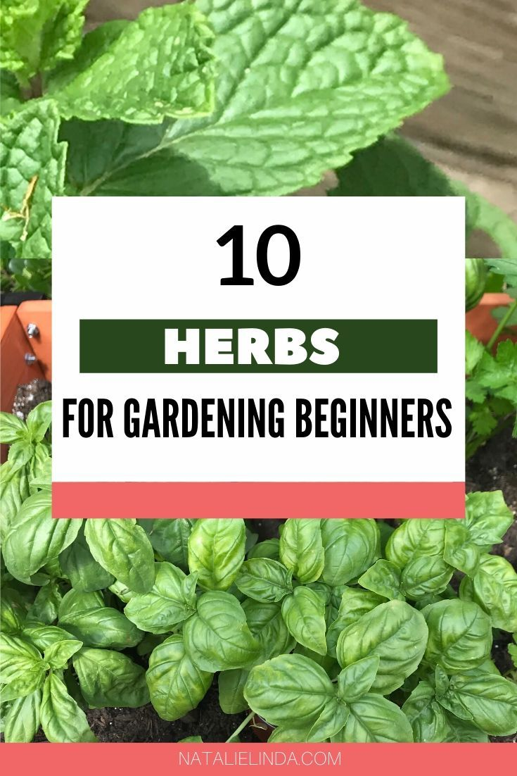 10 Herbs That Are Super Easy To Grow is part of Herbs, Starting a vegetable garden, Vegetable garden for beginners, Gardening for beginners, Garden layout vegetable, Container garden design - If you want to start your own herb garden, try starting with these 10 culinary herbs that are supereasy to grow and perfect for gardening beginners!