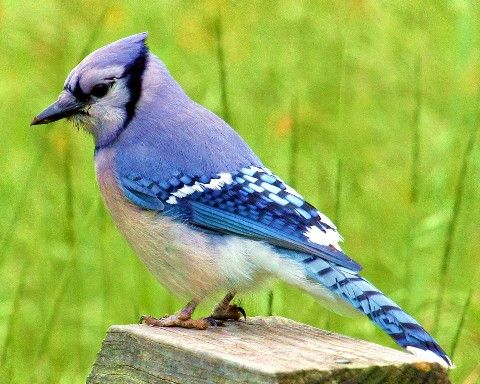 Geddie's - East Texas Birds, a pictorial reference | Stuff ...