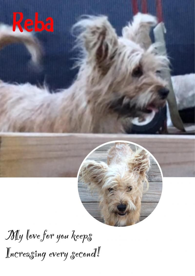 Adopt Reba On Petfinder Terrier Mix Dogs Yorkshire Terrier Silky Terrier