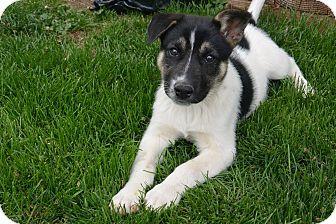 Shepherd Unknown Type Newfoundland Mix Puppy For Adoption In