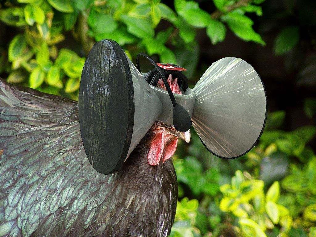 Gafas de realidad virtual para las gallinas.