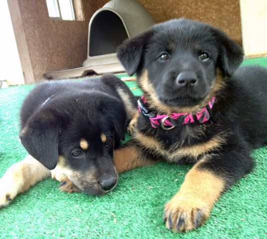 Two Of The Puppies Available For Adoption From Austin German Shepherd Rescue Pink And Blue Puppies Foster Dog Dog Rules