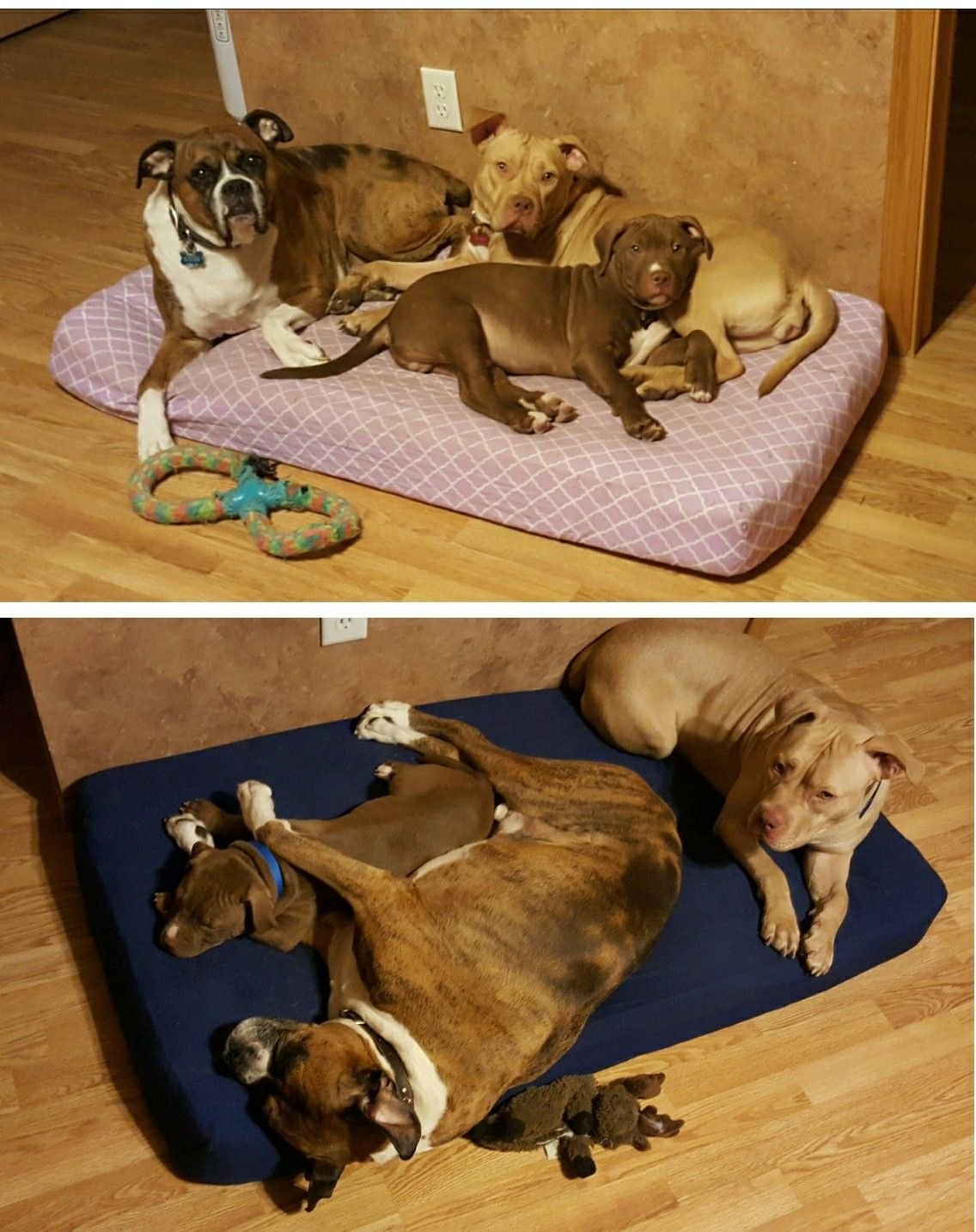 Use baby crib mattresses instead of regular dog beds. They