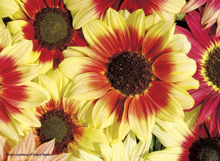7 musthave sunflowers to grow in your garden is part of Garden, Red sunflowers, Harvesting sunflower seeds, Red petals, Yellow flowers, Annual flowers - Add some cheer to your garden with a few of these musthave sunflowers in a range of sizes from front of the border to back and containers, too!