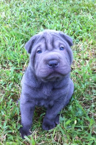 Shar Pei Puppywith Blue Eyes Blue Shar Pei Shar Pei Animals