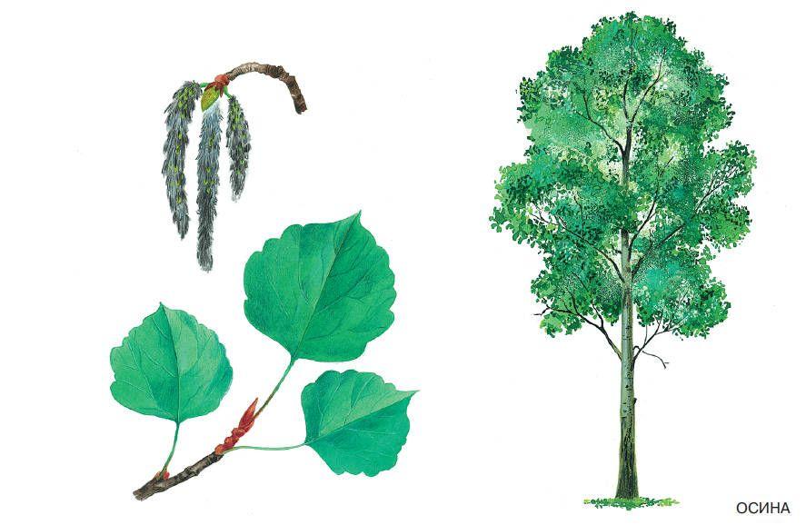 Рисунок осина для детей