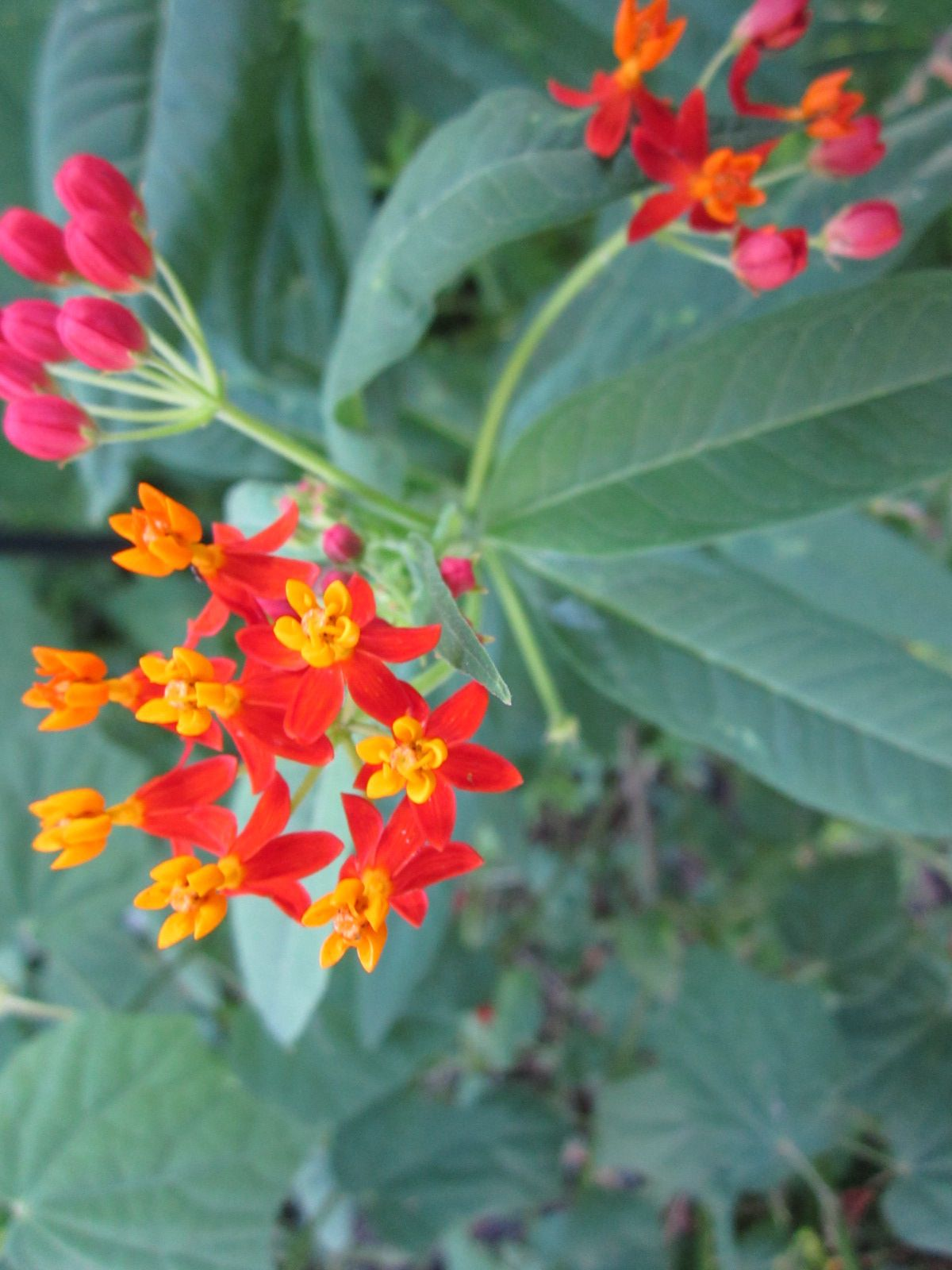 Pin On Deer Resistant Plants For Central Texas
