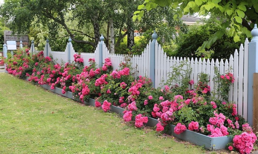 A Long Border Of Flower Carpet Pink Roses Presents Nicely Against The Picket Fence Landscaping Along Fence Garden Ideas Along Fence Line Garden Vines