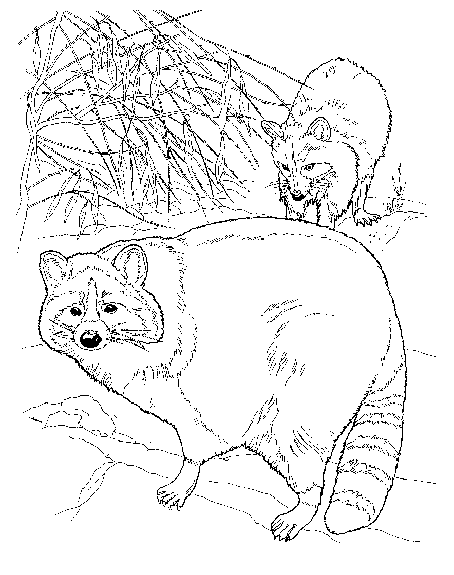 raccoons coloring page | Crafts for the girls | Pinterest | Raccoons ...