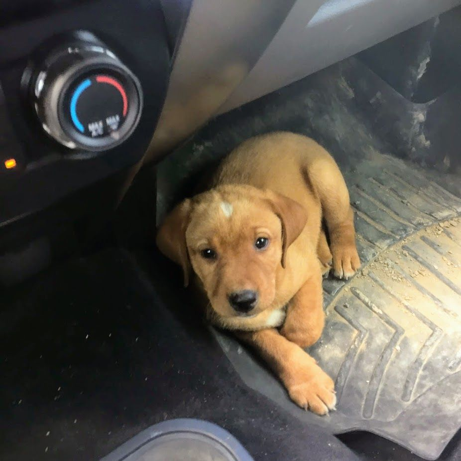 Golden Retriever Puppies Nh For Sale 2021