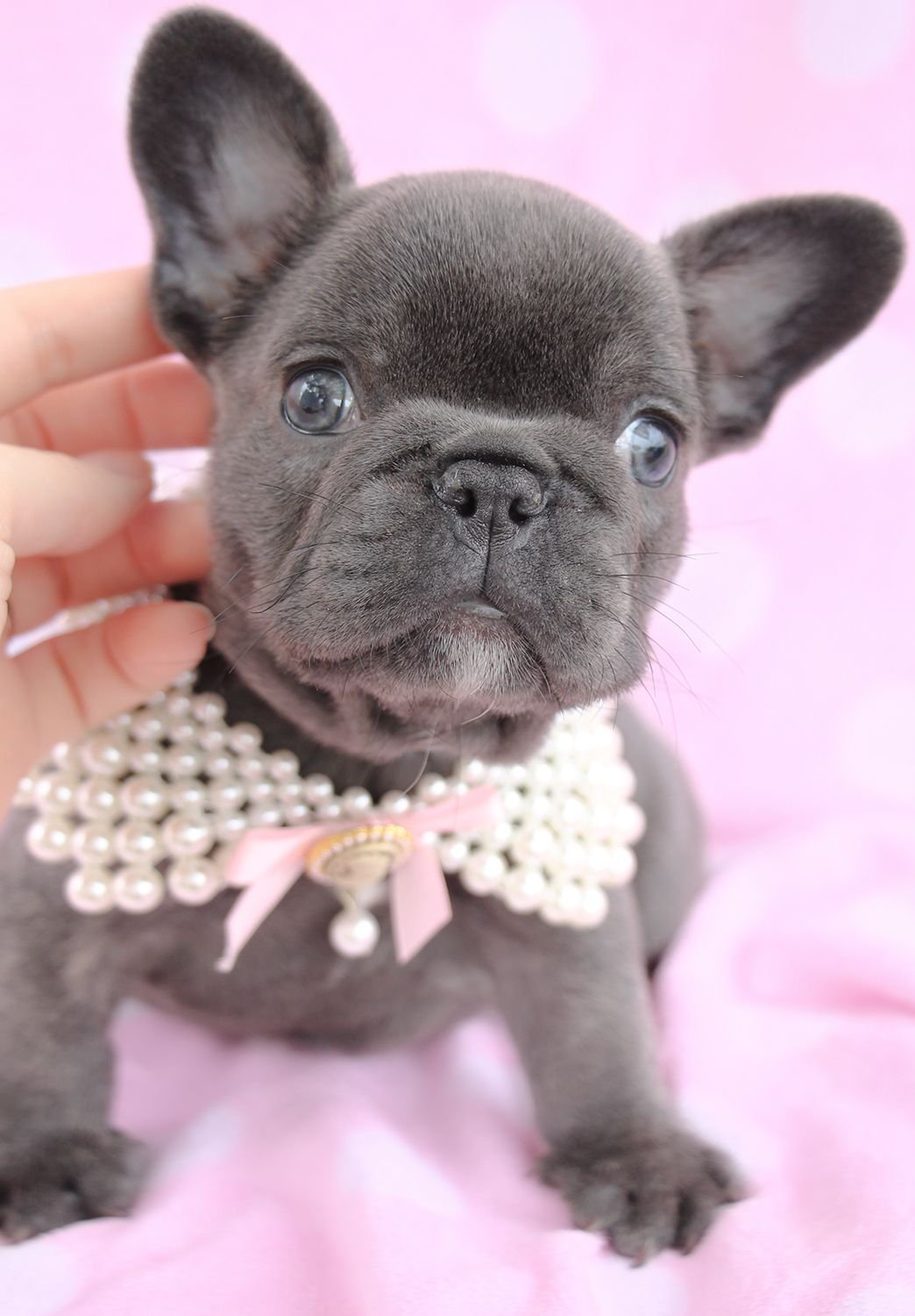 Gorgeous French Bulldog Frenchie Puppy For Sale In South Flordia