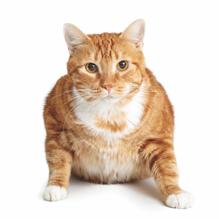 You May Be More Motivated To Stick With New Year S Resolutions For Your Bff Your Best Feline Friend Here S How To Pet Injuries Diabetes Cat Abyssinian Cats