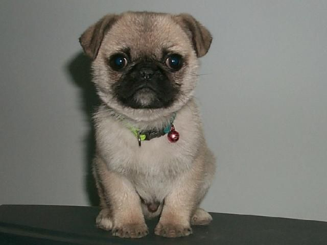home baby pug - pugspot, Introducing a new pug puppy to your home is a ...