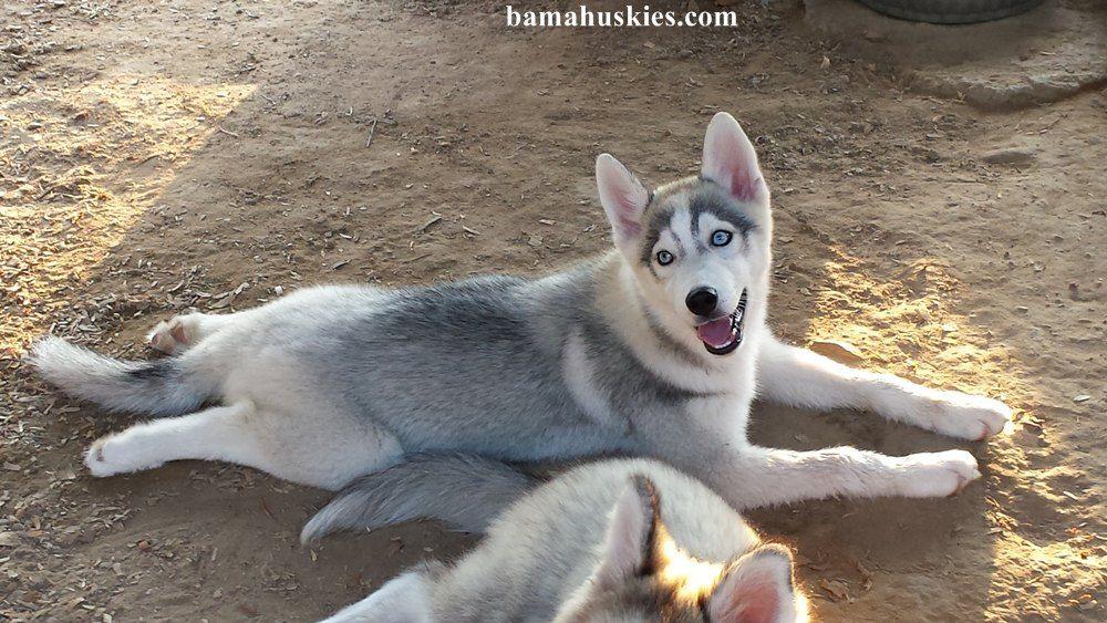 Husky Kennel Update 8 15 2014 Bama Huskies Bama Huskies Husky