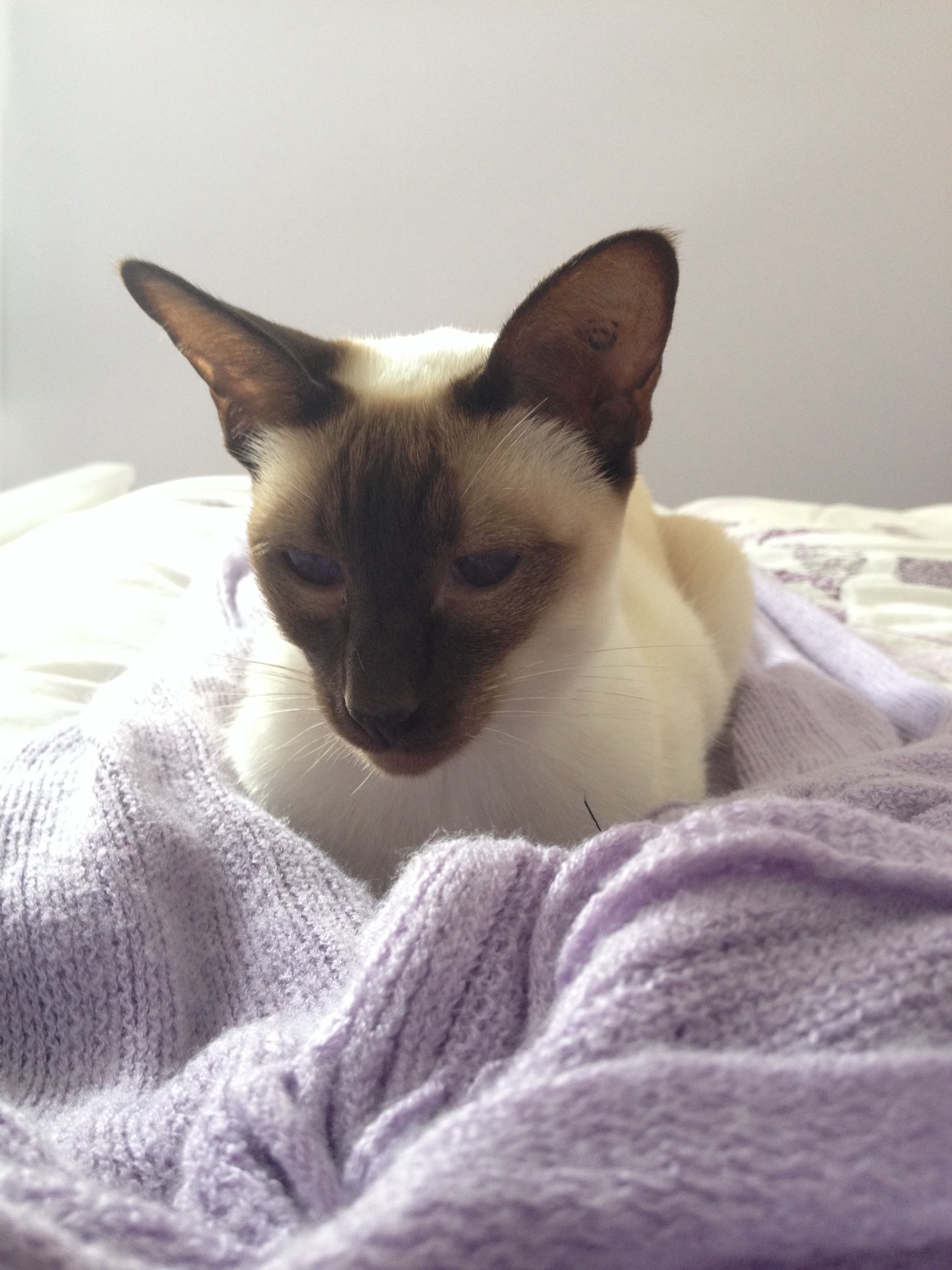 Affectionate Siamese Cat Balinese Cat Cats And Kittens Siamese