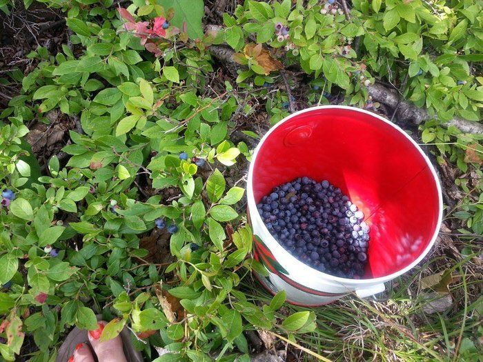 Blue Berries in Pail. by Willa Lavamaki on Capture Minnesota // Blue wonders in taste. Palisade Head.