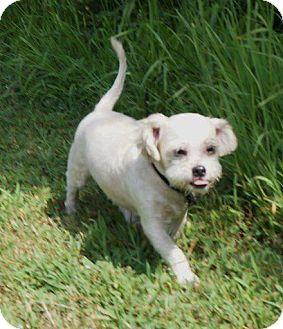 Boston Terrier Shih Tzu Mix Pretty Animals