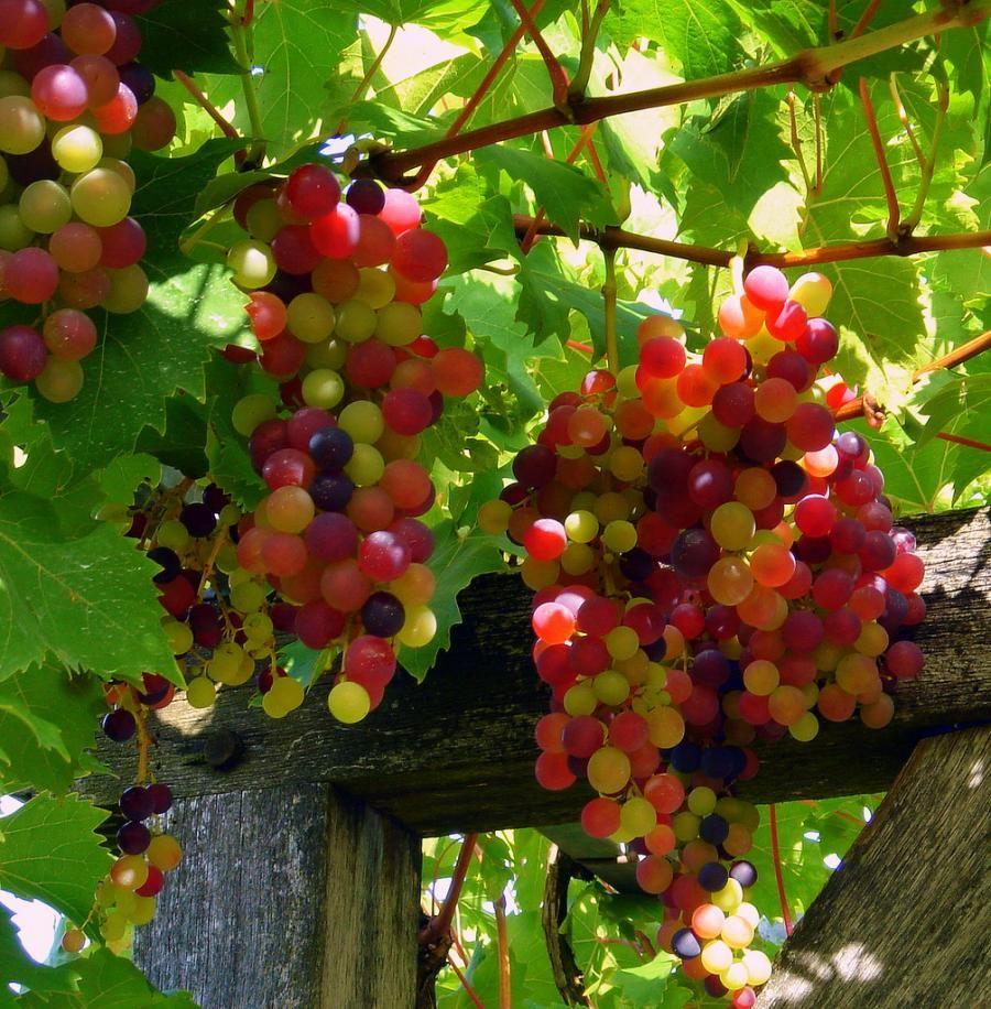 it u0027s all about the grapes jardin quatre saisons pinterest