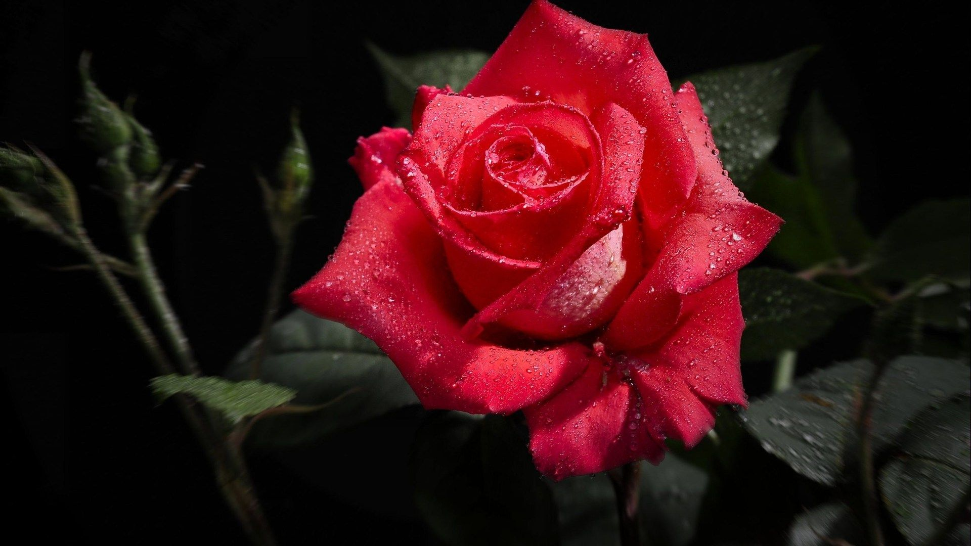 perfect red rose 1080p