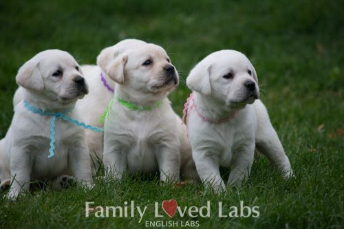 White English Labradors Akc Registered Family Loved Puppies