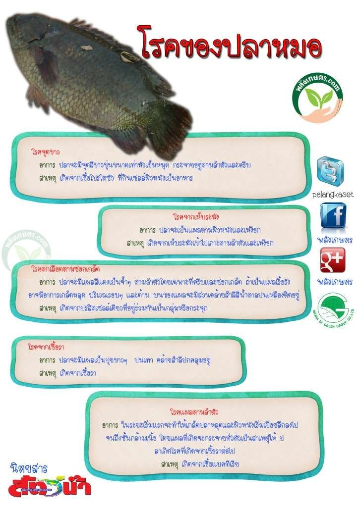 ปลาหมอ ม โรคท ต องระว ง 5 อย าง การเล ยงปลาหมอ พล งเกษตร หมาแมว ปลา