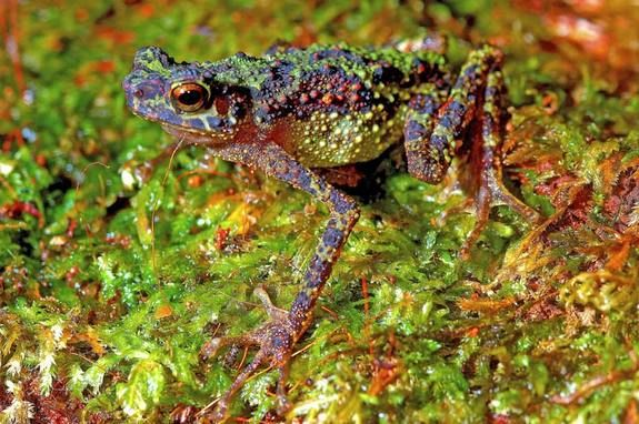Rainbow toad rediscovered after 87 years... so cool!