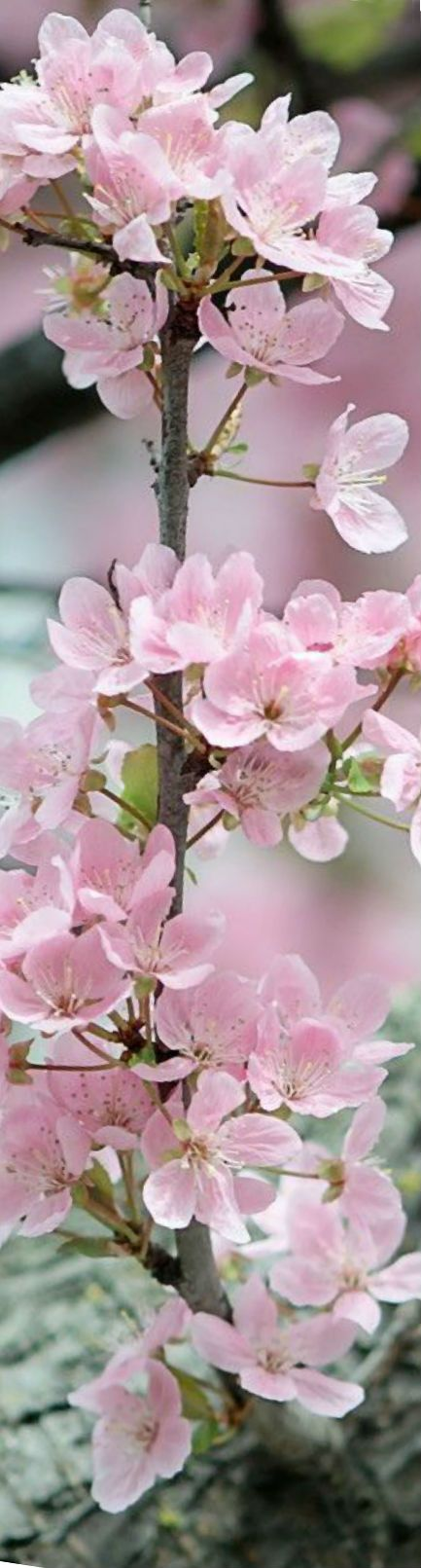 Pretty Pink Blossom Blossoms Art Beautiful Flowers Blossom Flower