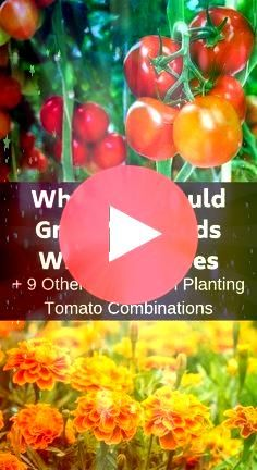 you want to have the biggest and best tomatoes consider companion planting Here are ten plants that will help your tomatoes taste deliciousIf you want to have the biggest...