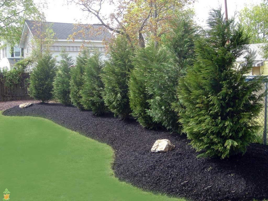 Leyland cypress tree fast growing evergreens fast for Backyard privacy landscaping trees