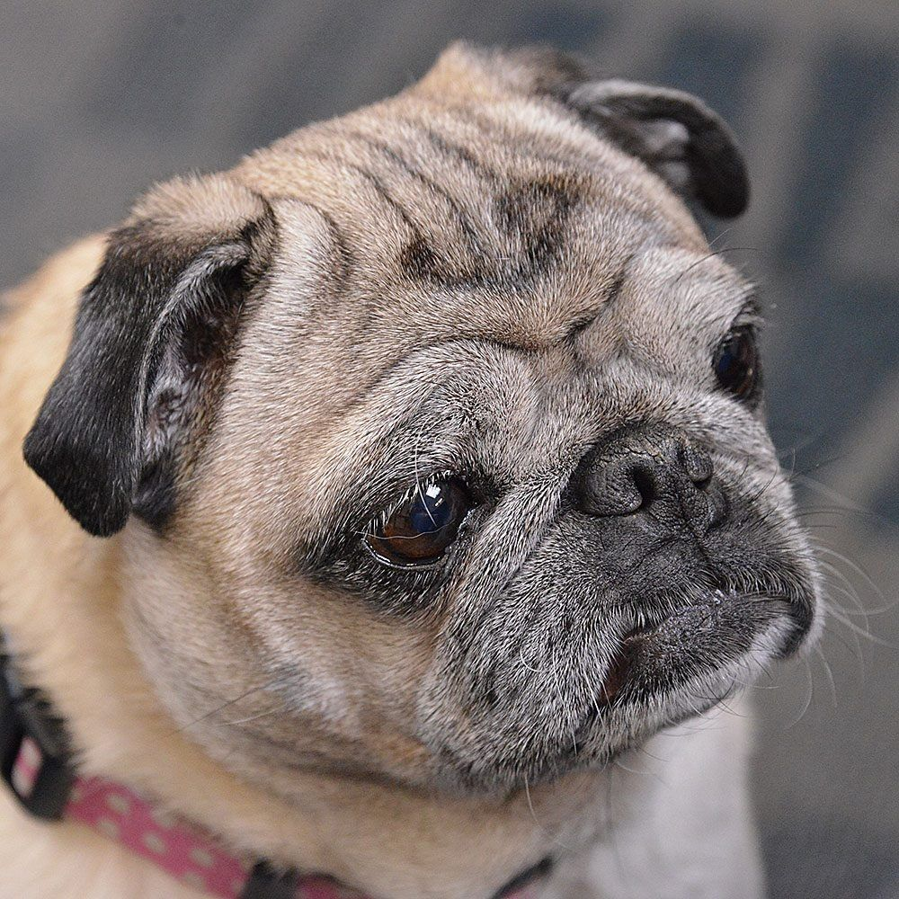 Sweet Love A Grey Pug Face Pugface Pug Love Old Pug Puppy