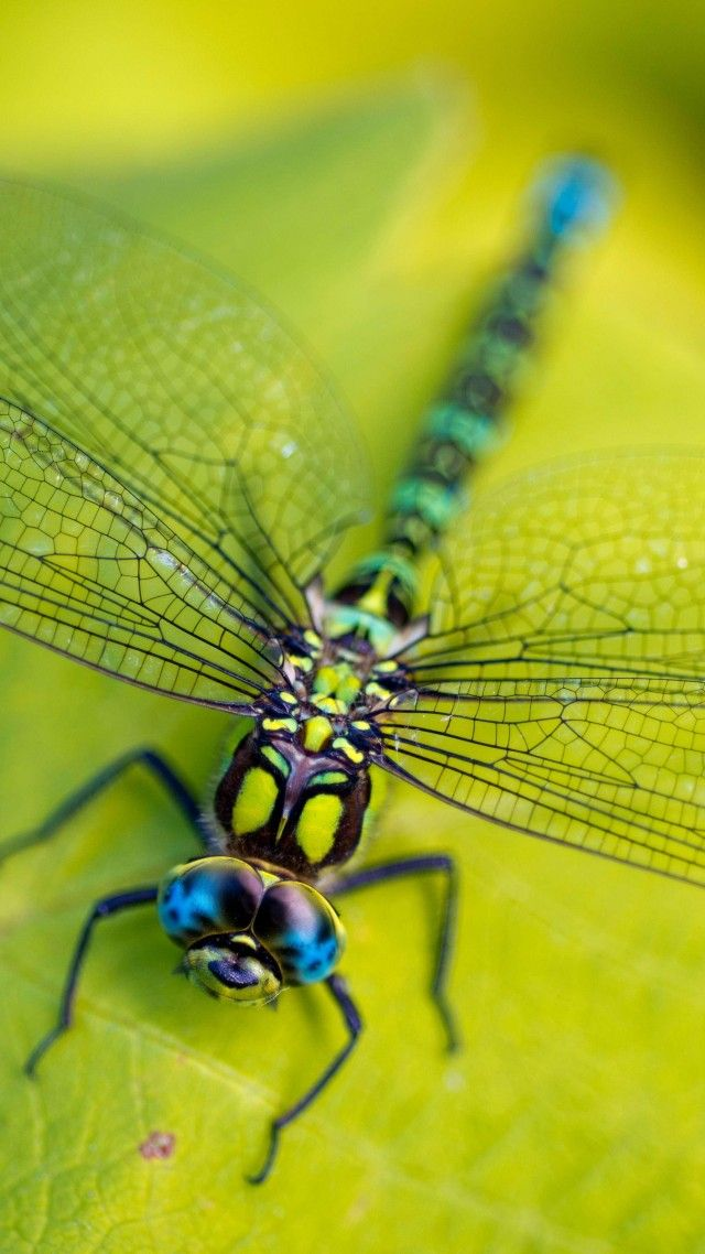 Dragonfly, leaves, wings, green, insect, macro, nature