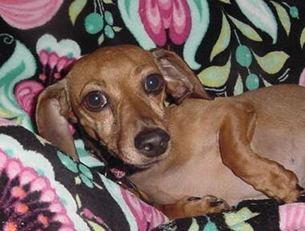Adopt Suki On Petfinder Adoptable Dachshund Dog Dachshund Rescue Dachshund Dog
