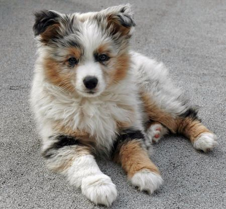Pom Australian Shepherd Mix Cute Dogs Miniature Australian