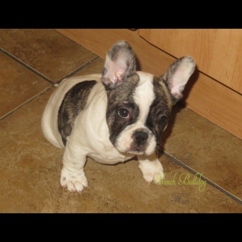 Buy Healthy French Bulldog Puppies Available For Sale At