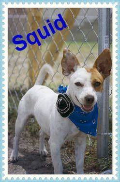 Squid Is A Very Small 1 Year Old Jack Russel Chihuahua Mix Jack