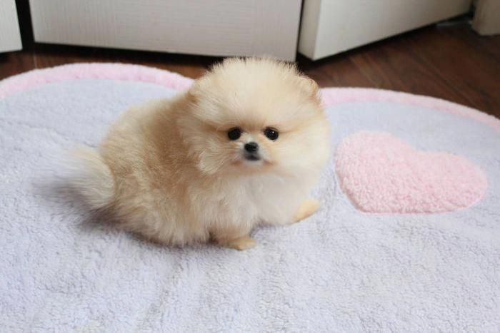 Cream Teacup Pomeranian #teacuppomeranianpuppy Cream Teacup Pomeranian #teacuppomeranianpuppy Cream Teacup Pomeranian #teacuppomeranianpuppy Cream Teacup Pomeranian #teacuppomeranianpuppy Cream Teacup Pomeranian #teacuppomeranianpuppy Cream Teacup Pomeranian #teacuppomeranianpuppy Cream Teacup Pomeranian #teacuppomeranianpuppy Cream Teacup Pomeranian #teacuppomeranianpuppy